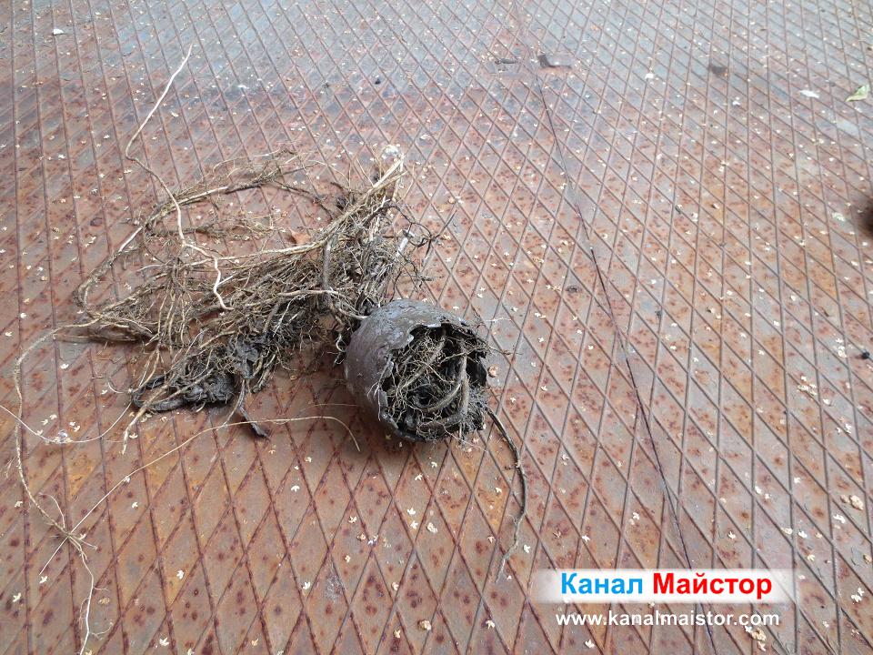 Не малко корени бяха прорастнали в канализацията
